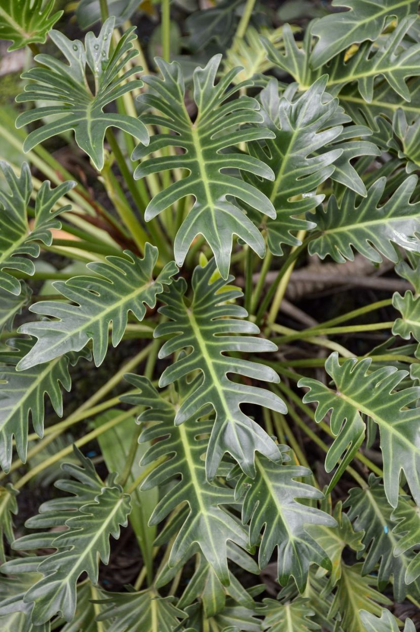philodendron plant caring for