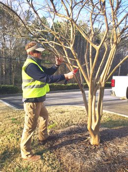 trimming pruning crepe myrtle