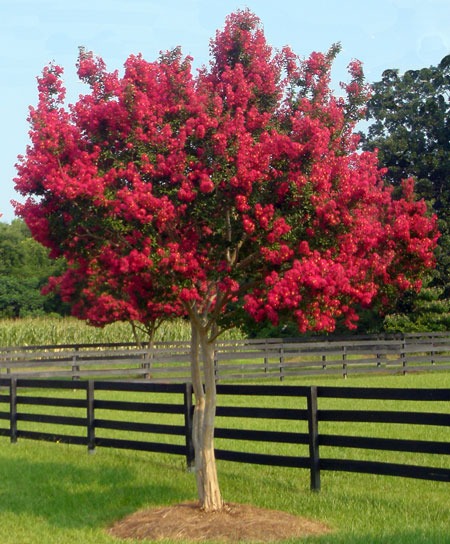 Crepe Myrtle Tree Lawn Service Fort Worth