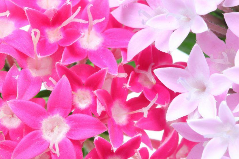 pentas flowers closeup