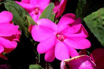 sunpatiens shade plant