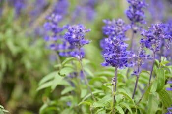 ajuga ground cover lavender flowers